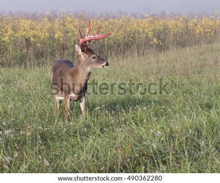 Large whitetail buck with the velvet falling off his rack of antlers.
