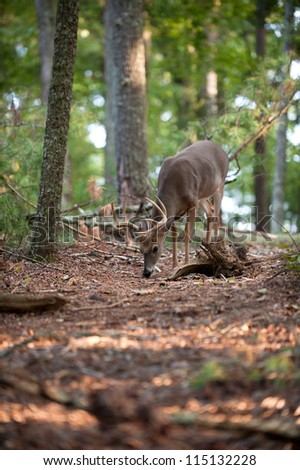 Large whitetail deer buck walking through the woods