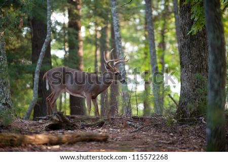 Large whitetail deer buck walking through the woods - stock photo