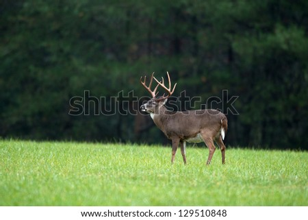 Large whitetailed deer buck standing in an open meadow - stock photo