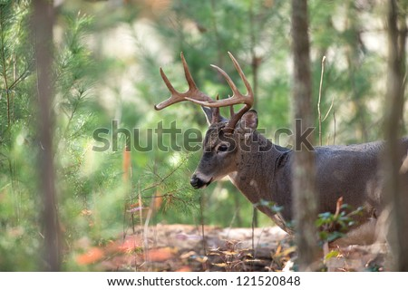 Large whitetailed deer walking through dense woods in Smoky Mountain National Park - stock photo