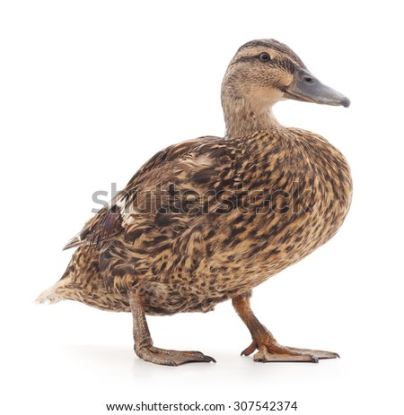 Large wild duck on a white background. - stock photo