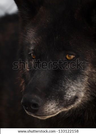 Large wolf in captivity. - stock photo