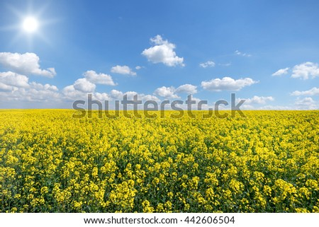 Large, yellow blooming rapeseed field with sun and blue and white sky - stock photo