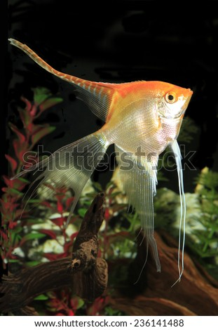 Large Yellow Long Finned Angel Fish in an Aquarium - stock photo
