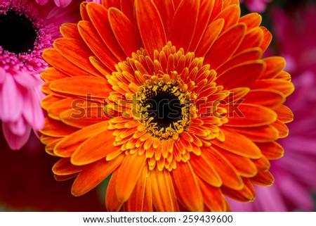 Large yellow-orange gerbera flower - stock photo