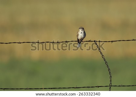 Lark Sparrow (Chondestes grammacus) perches on a fence in Utah. - stock photo