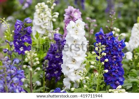 Larkspur flowers, Delphinium elatum - stock photo