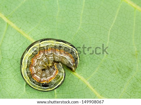 Larva curls up as a defensive mechanism when disturbed.