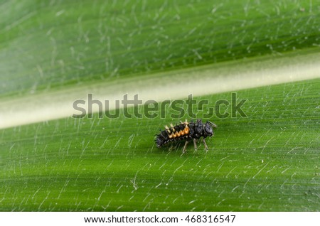 larva of asian ladybird (corn leaf)