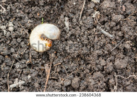 Larva of Cetonia aurata, called the rose chafer or the green rose chafer or goldsmith beetle - stock photo