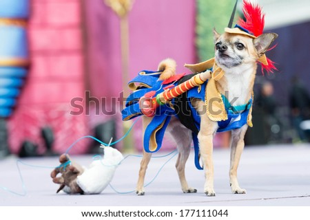 LAS PALMAS - FEBRUARY 16: Elvis 4 years old Chihuahua dog from Canary Islands, onstage during the Carnival's Dogs Contest February 16, 2014 in Las Palmas, Spain - stock photo