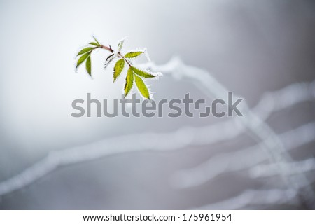 Last green leaves covered with frost - stock photo