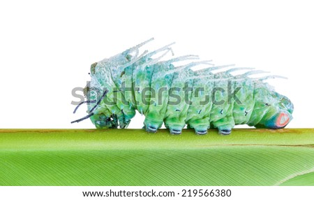 Last stage of largest caterpillar attacus atlas moth in white background - stock photo