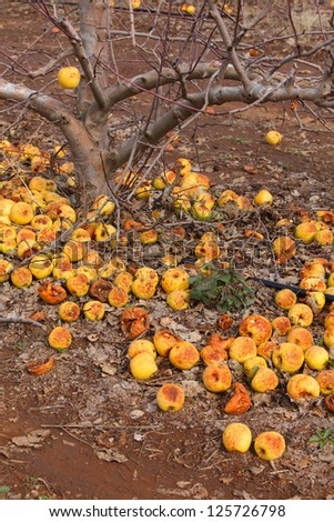 Last yellow apples after the frosts in winter orchard - stock photo