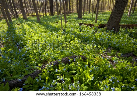 Late afternoon light filters through the spring woods at The Morton Arboretum in Lisle, Illinois. - stock photo