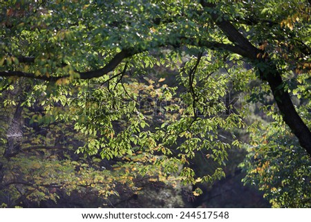 Late afternoon light glowing through backlit tree leaves - stock photo