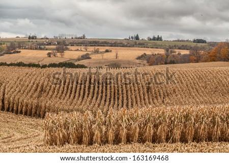 Late autumn corn field in northern Ontario farmland, grey sky - stock photo