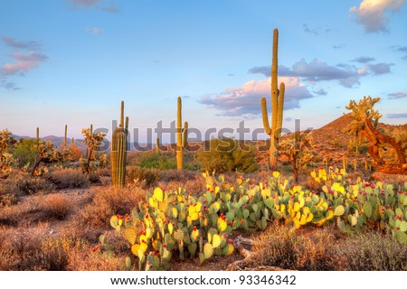 Late light illuminates Saguaros in Sonoran Desert.