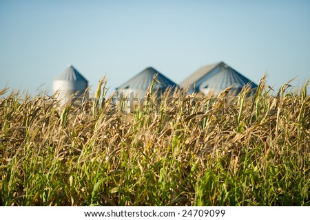 Late summer corn crop in front of storage silos. - stock photo