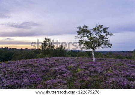 Late summer heather in bloom at Rockford Common in the New Forest - stock photo