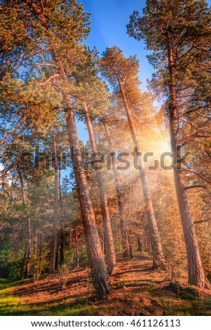 Late summer sunlight breaking through the pine trees at a mystical forest.  wonderful sunny landscape. unusual picturesque scene. Beauty in the world