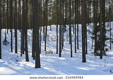 Late sunbeams on the snow in the shadowy pine tree forest. Scots pine forests characteristic for northern Europe: Sweden, Finland, Baltic states, Russia etc. Winter landscape of commercial forests. - stock photo
