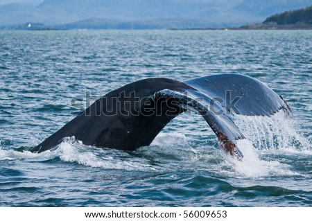 lateral view tail of diving humpback - stock photo