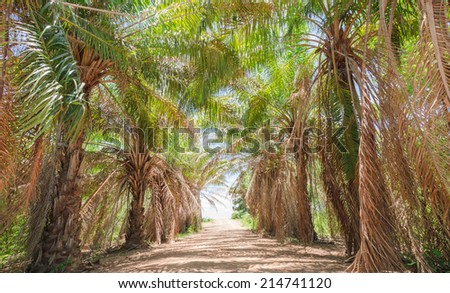 Laterite road and palm tree in tropical jungle - stock photo