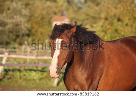 Latvian breed horse portrait