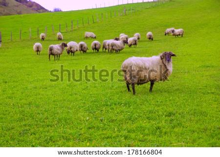 Latxa sheep in Pyrenees of Navarra grazing in meadow at Spain - stock photo