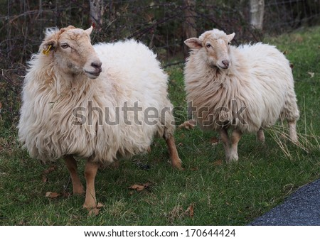 Latxa sheeps in Basque country - stock photo