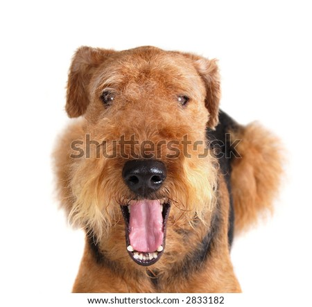 laughing Airedale- with open mouth