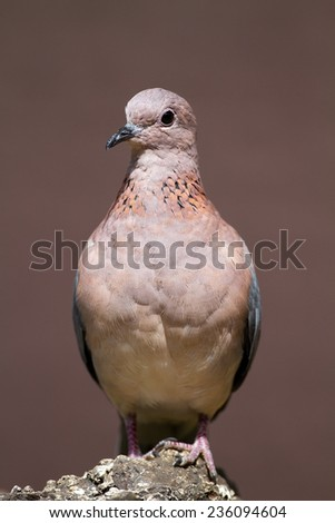 Laughing dove perched on rock; Streptopelia senegalensis - stock photo