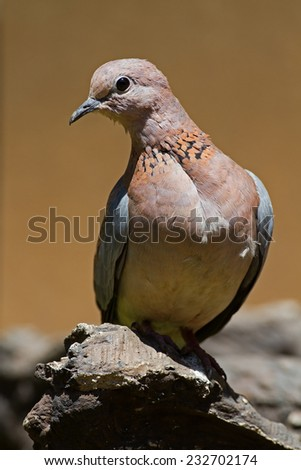 Laughing dove; Streptopelia senegalensis