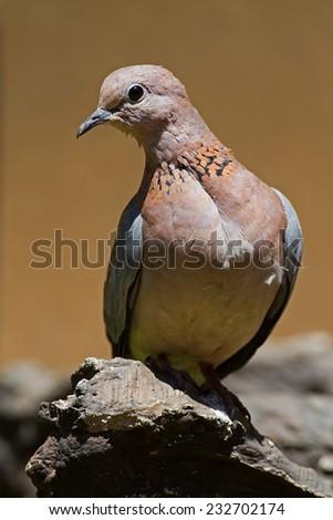 Laughing dove; Streptopelia senegalensis - stock photo