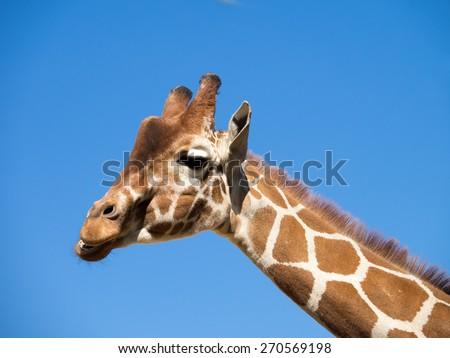 Laughing Giraffe against blue sky - stock photo