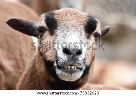 Laughing goat portrait - stock photo