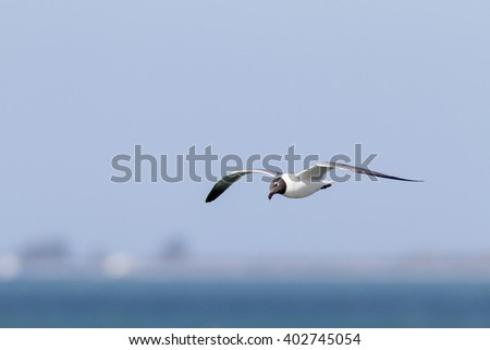 Laughing Gull tilts head during glide