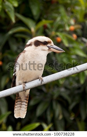 Laughing Kookaburra perched on a Hills Hoist - stock photo