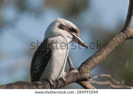 Laughing Kookaburra sitting on a tree - stock photo