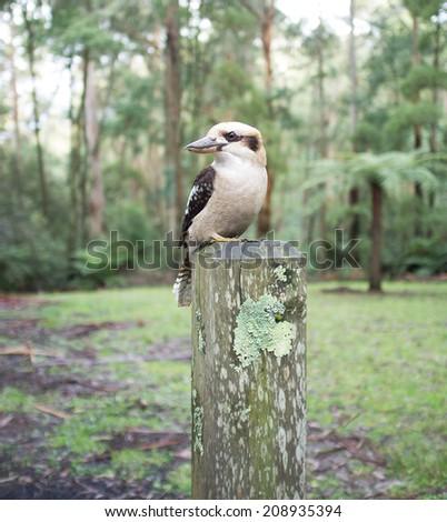 Laughing Kookaburra sitting on wooden pole. - stock photo