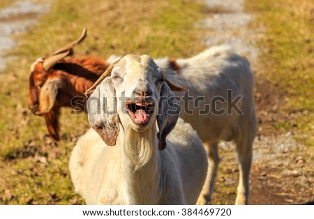 Laughing Nubian Goat: A Nubian Goat appearing to laugh uncontrollably with teeth and tongue showing.  Image taken on an early Fall Alabama morning during peak golden hour.  Thus, the true golden hue.  - stock photo