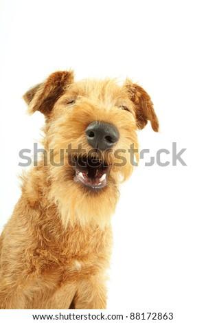 Laughing purebred dog Irish Terrier on white background - stock photo
