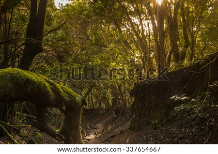 Laurel forest in Anaga National Park, Tenerife, Canary islands, Spain