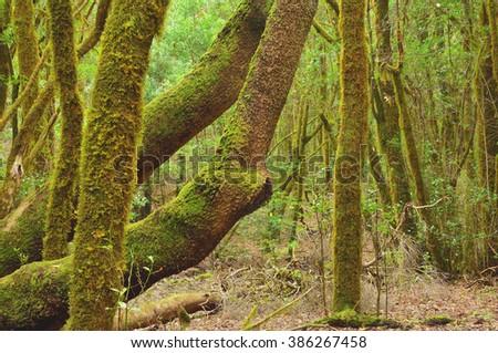 Laurel forest within Garajonay National Park, La Gomera, Spain - stock photo