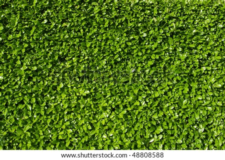 Laurel leaves, hedge of green laurel bushes - stock photo