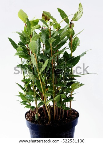 laurel plant and green spicy leaf