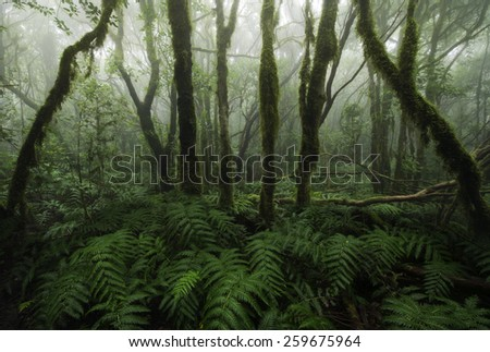 Laurisilva rain forest, Anaga mountains, Canary Islands - stock photo