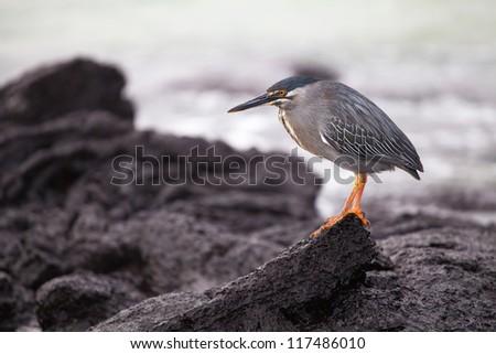 Lava heron, Galapagos islands - stock photo